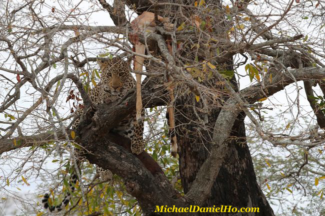Leopard with Impala carcass in tree, South Africa