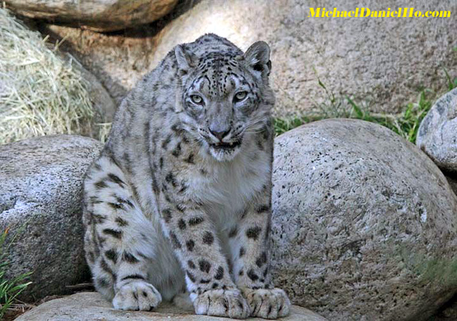 photo of Snow Leopard