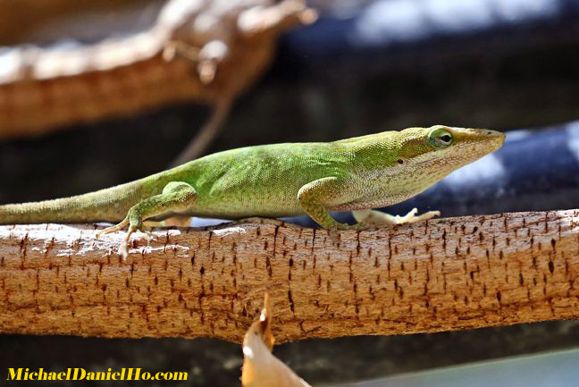 green lizard in costa rica