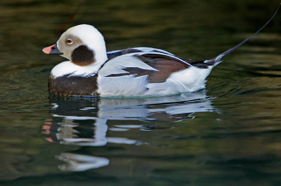 photo of long tailed duck