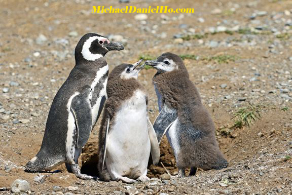 Magellanic Penguins in Chile