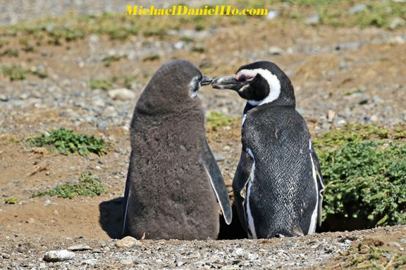 Magellanic Penguin mom and chick