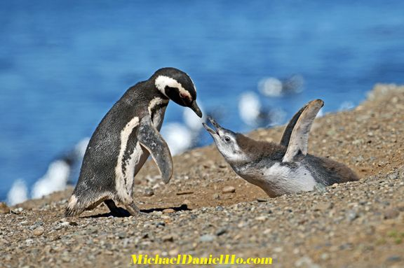 Magellanic Penguin mom feeding chick