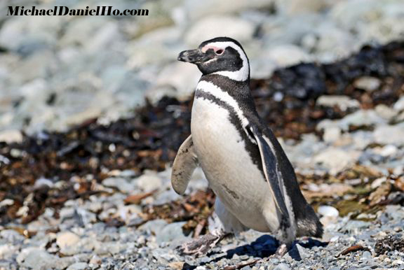 photo of Magellanic Penguin