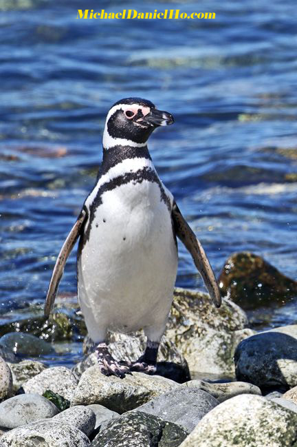 Adult Magellanic penguin on the beach