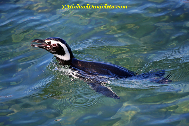 magellenic penguin swimming in southern ocean