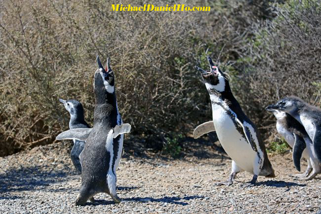 magellenic penguins braying in the falklands