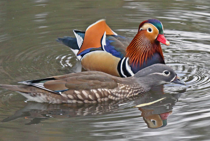 photo of mandarin duck