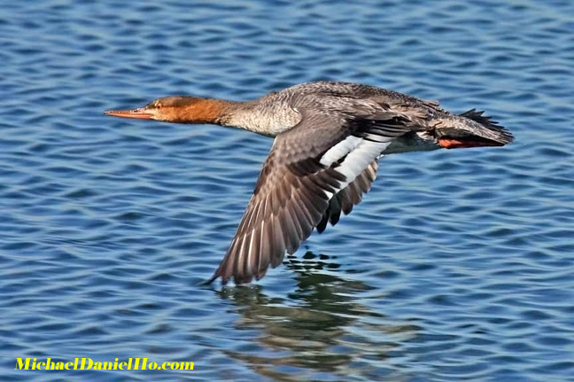 photo of Merganser duck