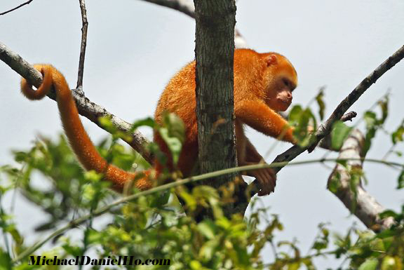 golden monkey in costa rica