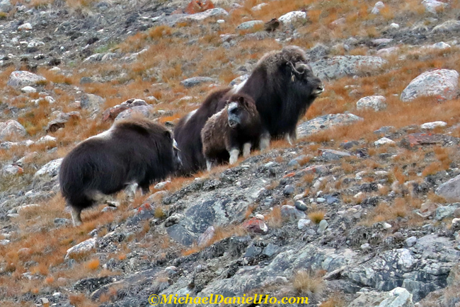 photo of musk oxen with calf in greenland