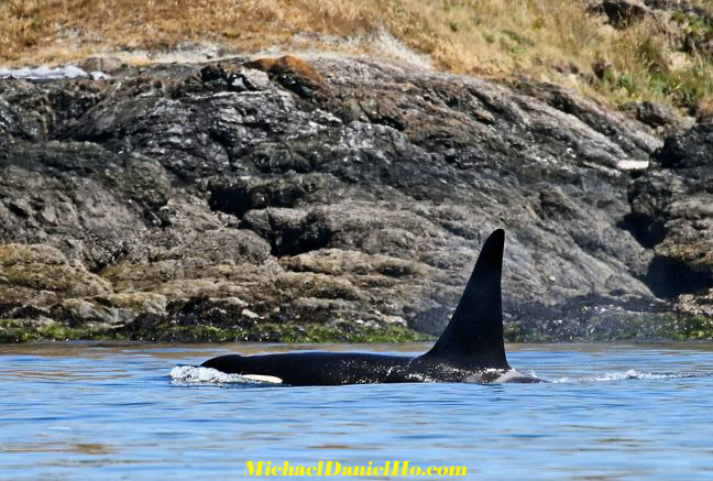 orcas, killer whale photos