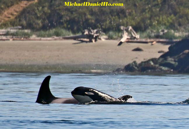 killer whale mom and calf photos