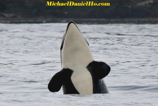 orca, killer whale photos