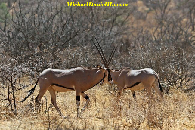 photo of two Oryx in africa