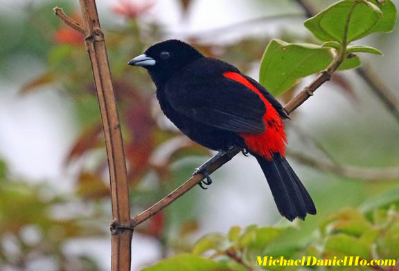 passerini tanager photo