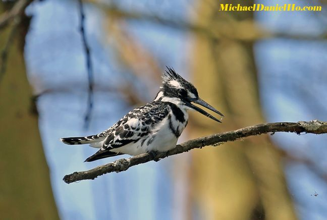 photo of pied kingfisher