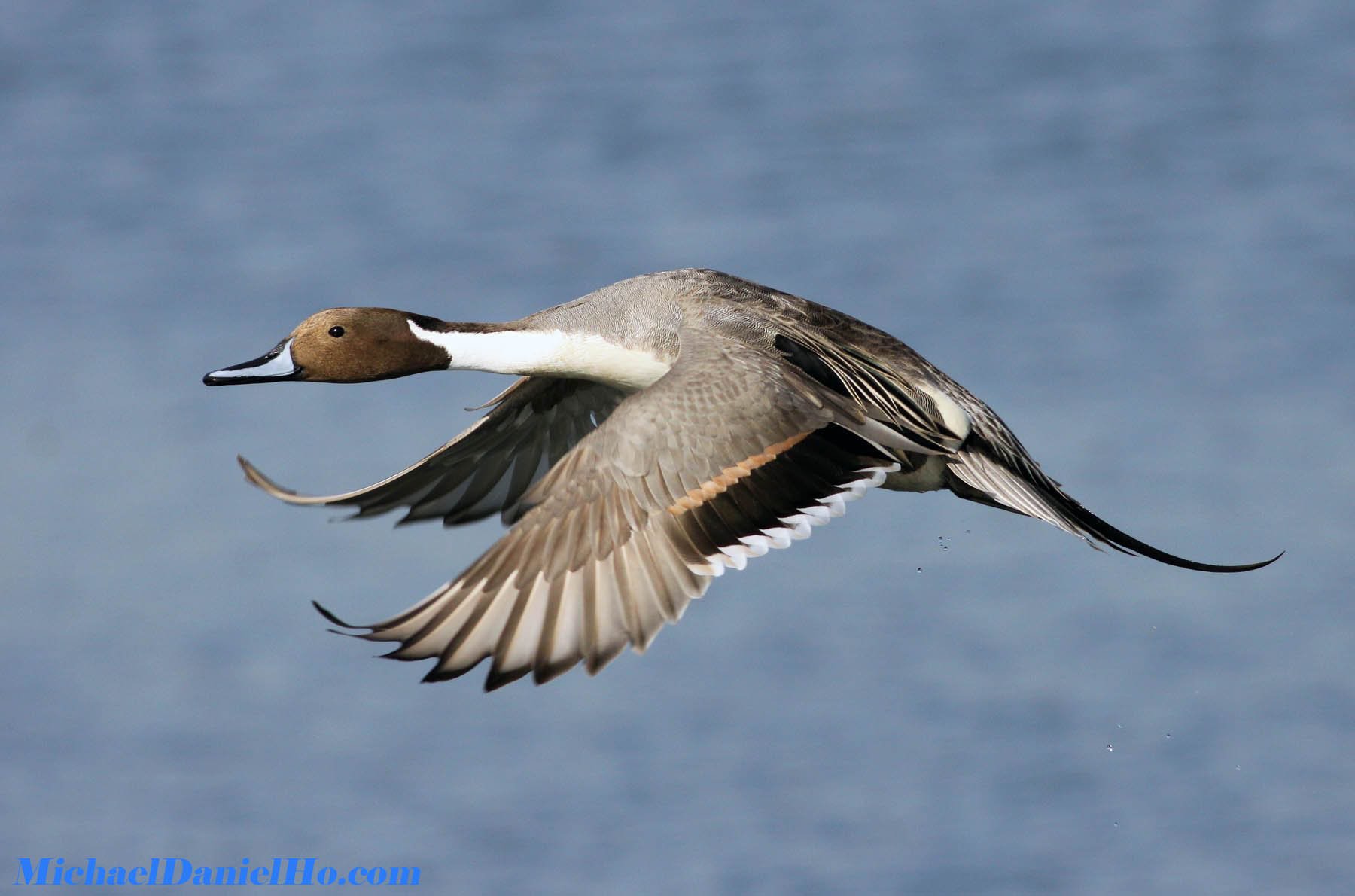 Black patch on Northern Pintail