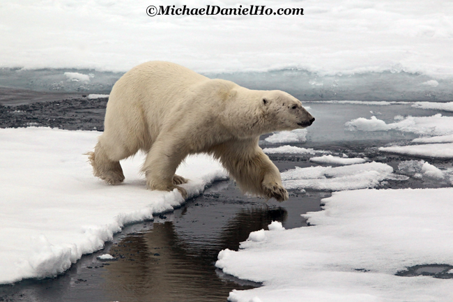 photo of polar bear in high arctic