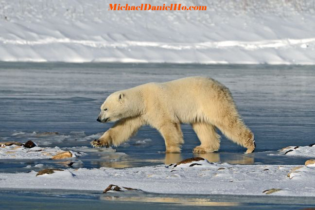 photo of polar bear in hudson bay