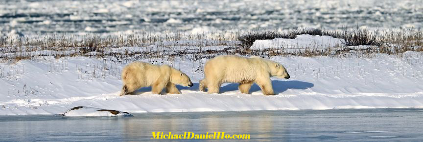 photo of polar bear mom and cub in hudson bay