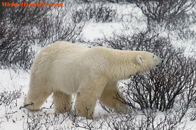 photo of polar bears in hudson bay