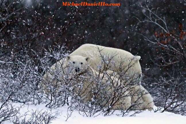 photo of polar bears in churchill