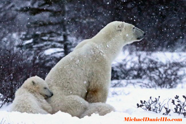 photo of polar bears