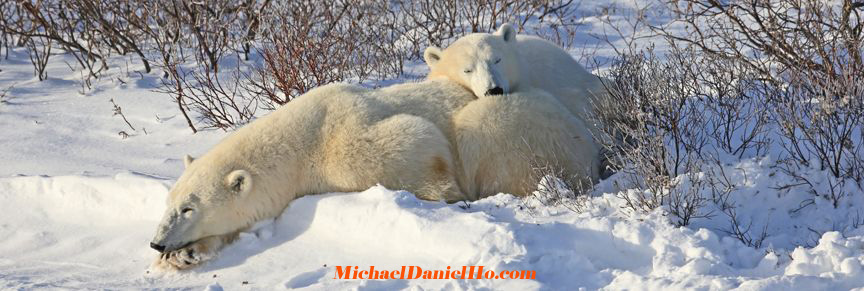polar bear mom and cub in Canadian tundra
