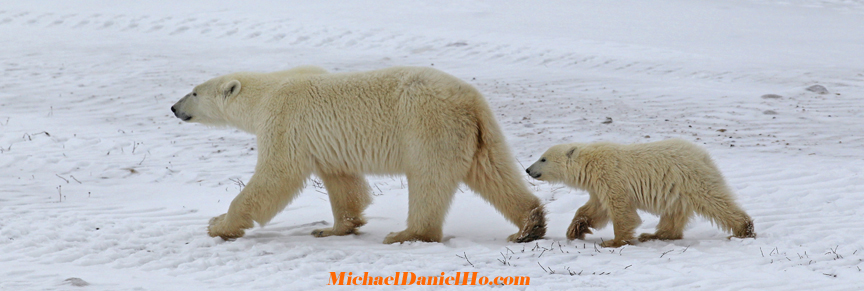 photo of Polar bear mom and cub