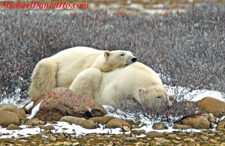 polar bear pictures