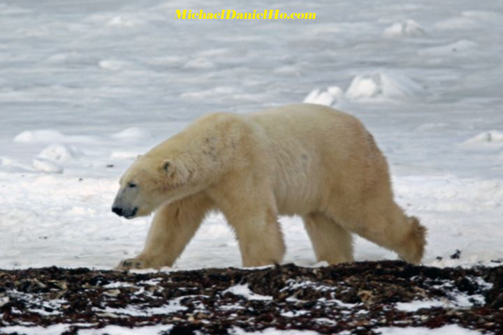 polar bear photos