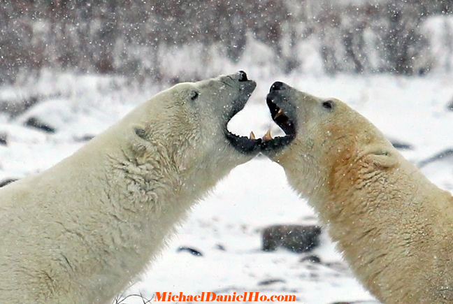 photo of polar bear sparring