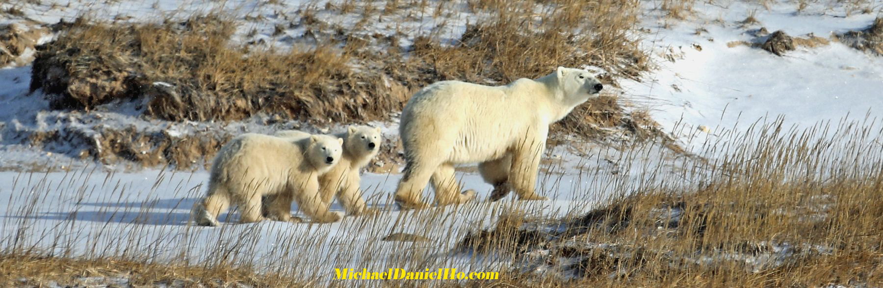photo of polar bear with cubs