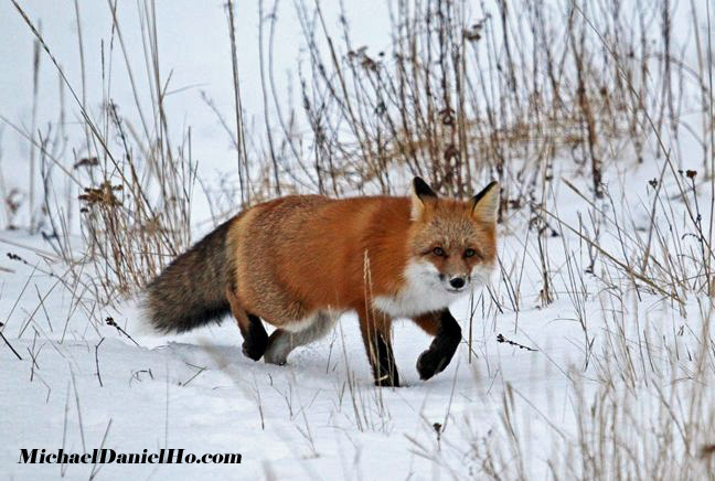 photo of red fox in tundra