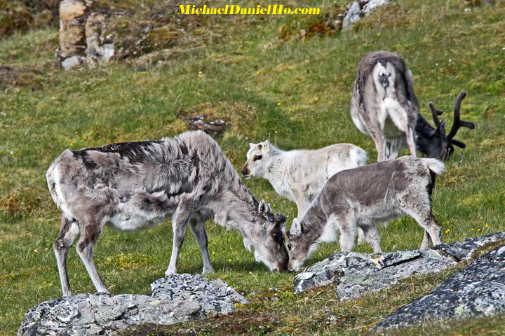 photo of reindeer family
