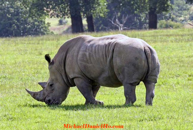 photo of white rhino