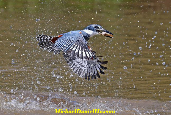 photo of Ringed Kingfisher