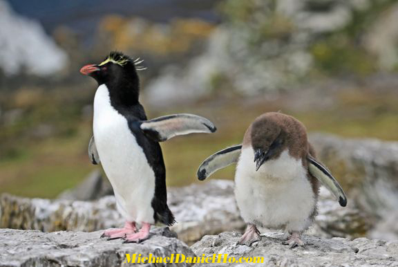 Rockhopper Penguin mom and chick in the Falklands