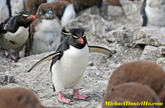 Adult Rockhopper Penguins