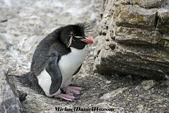 photo of Rockhopper Penguin