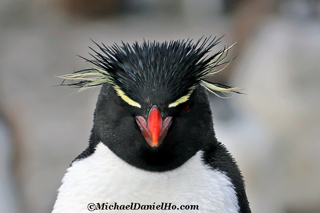 rockhopper Penguin portrait in the Falklands