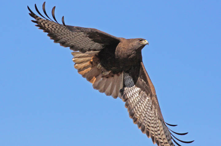 red-tailed hawk flying in the sky