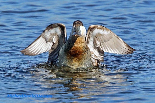 photo of ruddy duck