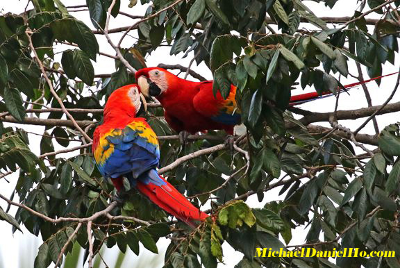 photo of Scarlet Macaws in Costa Rica
