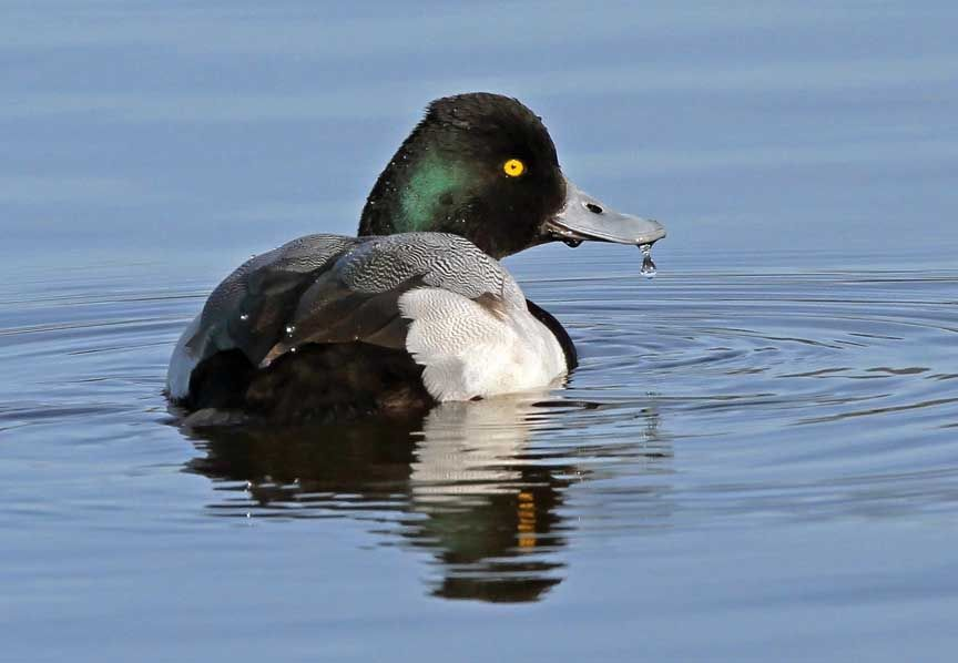 photo of lesser scaup