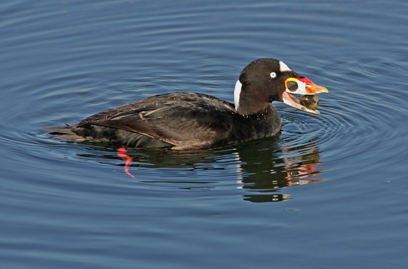 photo of surf scoter
