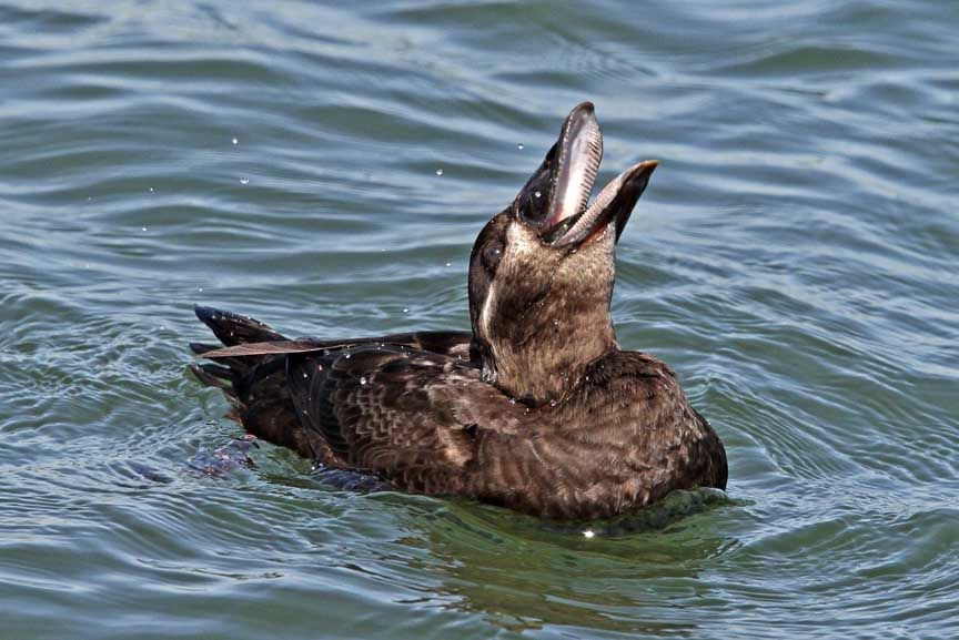 photo of surf scoter duck