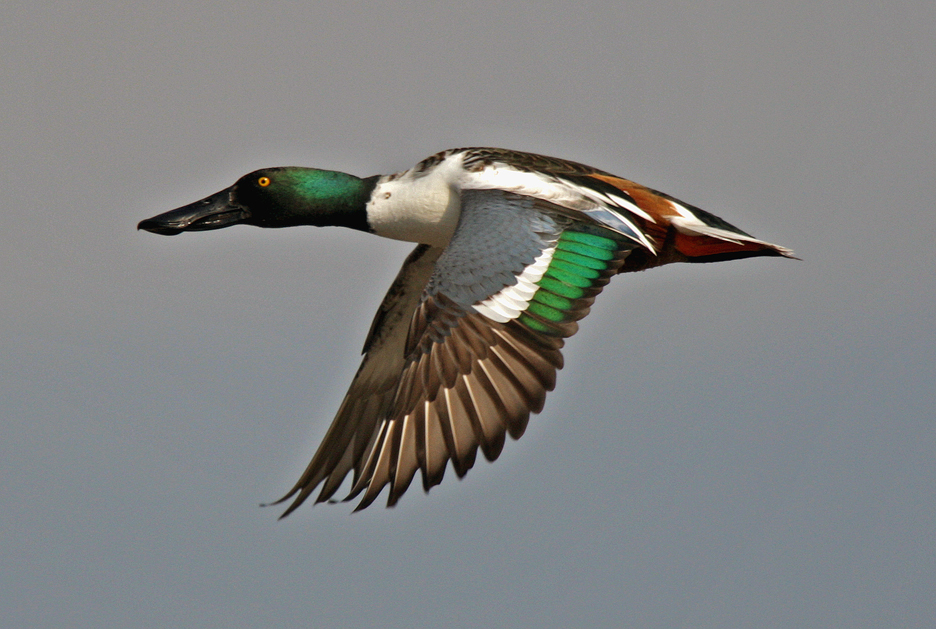 photo of northern shoveler