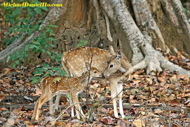 photo of spotted deer in India